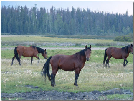 wild horses of the Xeni Gwet'in in the Nemiah Valley of Amazing British Columbia